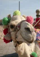 Kamel-Ritt Ägypten